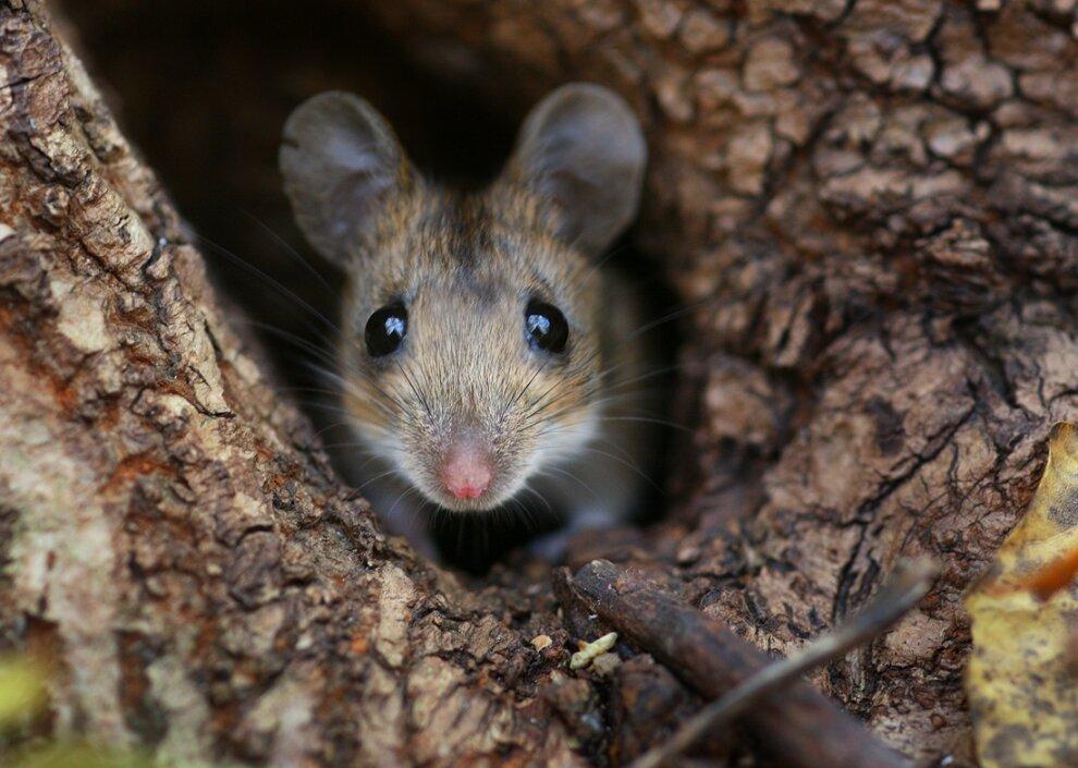Мышиная лихорадка на Кумысной поляне