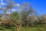 Яблоневый сад на Кумысной поляне