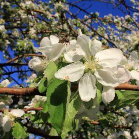 2 13 275x275 - Яблоневый сад