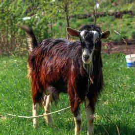 Альпийские козы в селе Лох